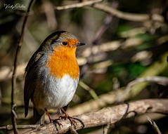 🇬🇧 Robin (Explored 23/03/19) (vickyouten) Tags: robin robinredbreast nature naturephotography wildlife britishwildlife wildlifephotography nikon nikond7200 nikonphotography sigma sigma150600mmc martinmere burscough uk vickyouten
