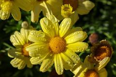 Vacances_0840 (Joanbrebo) Tags: mainau konstanz badenwürttemberg de deutschland flors flores flowers fiori fleur blumen blossom canoneos80d eosd autofocus waterdropsmacros