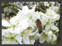 Honey Bee On Damson Blossom (M E For Bees (Was Margaret Edge The Bee Girl)) Tags: honeybee apismellifera white flowers food forage insect garden outdoors canon countyside damson prunusdomestica bee blossom flash tree fruittree