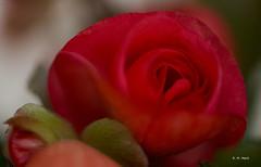 Velvety heart (R. M. Marti) Tags: rosa hojas planta flor naturaleza color suave aterciopelada tallo pétalos agua gotas rojo pink leaves plant flower nature soft velvety stem petals water drops red
