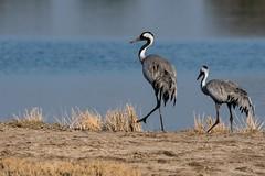 Common Cranes (iamfisheye) Tags: 300mm naturetrek d500 xqd february vr f4 pf india indianwildasssanctuary grusgrus nikon afs littlerannofkutch 2019 tc14iii commoncrane gujarat raremammalsandbirdsofgujarat