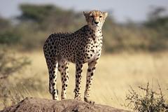 Cheetah, Piaya Serengeti Tanzania (inyathi) Tags: eastafrica tanzania africananimals cheetah acinonyxjubatus bigcats cats piaya serengeti nationalpark africa