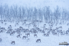Snowing On Reindeer (kevin-palmer) Tags: sweden swedishlapland europe arctic march winter snow snowy cold nikond750 reindeer animals wildlife grazing snowing trees evening nikon180mmf28 telephoto