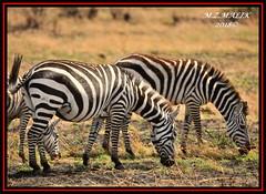 COMMON ZEBRAS  (Equus burchelli).....MASAI MARA.....SEPT 2018. (M Z Malik) Tags: nikon d3x 200400mm14afs kenya africa safari wildlife masaimara keekoroklodge exoticafricanwildlife zebras ngc npc