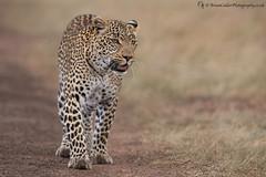 Leopard (Female) (Brian Calder) Tags: leopard femaleleopard fig bigcat africa kenya masaimara animal wildanimal figtheleopard wildlife ngc