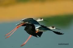 9 (TARIQ HAMEED SULEMANI) Tags: sulemani tariq tourism trekking tariqhameedsulemani winter wildlife wild birds nature nikon