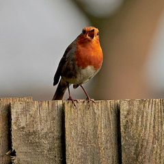 Choir Of One (Deepgreen2009) Tags: robin chat garden orange breast red singing mouth open song territory beak bill small fence perched