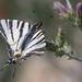 Flambé (Iphiclides podalirius) - Scarce swallowtail