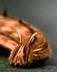 Big Hairy Caterpillar (littlestschnauzer) Tags: owl butterfly caterpillar big brown insect hairy leeds visit 2018 tropical world face eyes horns unusual large butterflies macro detail