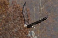 Eagle with dinner (JJ Bowen) Tags: conowingo dam maryland bald eagle america american fishing bird fish sigma canon 150600 70d