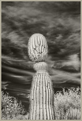 Desert Museum #2 2019; Cactus Man (hamsiksa) Tags: plants flora succulents xerophytes cacti cactuses cactaceae carnegieagigantea vegetation desertplants desert sonoran tucsonmountains arizona tucson pimacounty arizonasonoradesertmuseum blackwhite infrared digitalinfrared infraredphotography botanicals landscape