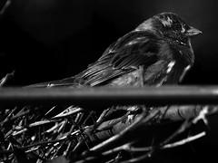 Winter_1052997 (XCastrillo) Tags: bw blackandwhite black blancoynegro gorrión calle street invierno winter blues lonely soledad mft micro43 darknes bird pajarito