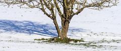 Thrush in the Tree Roots (stevedewey2000) Tags: salisburyplain wiltshire landscape winter snow tamron150600 birds bird thrush mistlethrush 2351
