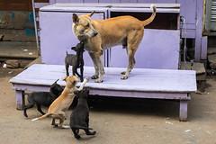 Family, Kolkata (Geraint Rowland Photography) Tags: purple family animal animals dogs familyofdogs mother puppies streetphotography memoriesofindia calcutta kolkata india westbengal southaria travelphotos travellingdogs feedingdogs streetdogs wwwgeraintrowlandcouk
