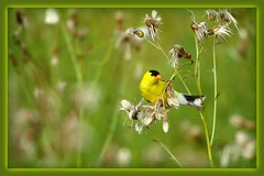 """Goldfinch seed snatcher (Darrell Colby """" You Call The Shots """") Tags: snatch goldfinch snatcher seed londonontario darrellcolby"""