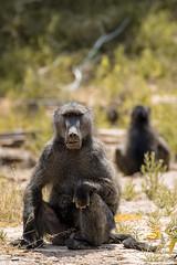 Baboon boss (HansenBenHansen) Tags: hoanib wüstenelefanten bärenpavian pavian baboon africa afrika namibia sony sonyalpha7ii sonya7ii a7ii a7 alpha7ii alpha7 sony⍺7markii ⍺7ii ⍺7 sony⍺7 desert elephants hoanibvally sonyalpha7 ilce7 emount fullframe tamron150600 7ii ⍺7markii ilce7ii sony⍺7ii animals tiere wildlife nature natur ilce vollformat sigmamountconvertermc11 canonefsonyemount