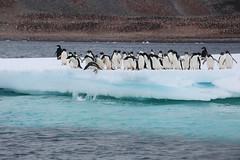 IMG_3553 (y.awanohara) Tags: adelie adeliepenguins penguins antarctica antarcticpeninsula wildlife january2019 icebergs ice icefloes