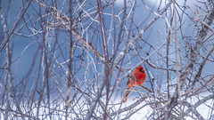 The Arctic Cold and a Feathered Friend (JoshKPhotos) Tags: northern cardinal bird wings red color winter cold feathers feather beak tail iowa nature birds landscape