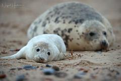 Grey Seal Pup (Nigel Hodson) Tags: canon 1dxmkii 600mmf4ii greyseal seal pup sealpup wildlife wildlifephotography nature naturephotography norfolk