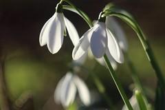 Snowdrop      Boyer Onyx  F = 100 (情事針寸II) Tags: クローズアップ 自然 花 projectionlens bokeh closeup nature fleur flower galanthus snowdrop boyeronyxf100