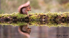 Red Squirrel (Liquidparadox) Tags: red squirrel scotland reflection water pool eating nuts
