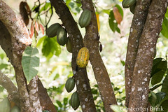 Cocoa (10b travelling / Carsten ten Brink) Tags: 10btravelling 2017 africa african afrika afrique carstentenbrink gbledi ghana ghanaian goldcoast hohoe iptcbasic liatiwote places tagbo tagbofalls togo togolese volta voltaregion westafrica border cocoa falls hike pod seeds tenbrink waterfall