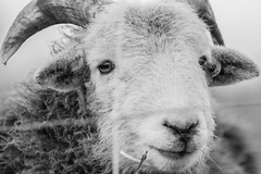Freedom...? (alexander_skaletz) Tags: clouds cloudy sheep bokeh landscapes landscape landscapephotography nature photography cold bw blackandwhite freedom grass march animal village germany spring nikon nikond5300 sad sigma naturelovers
