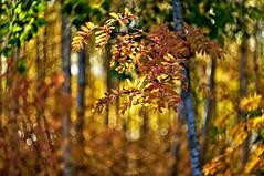 Autumn forest (Stefano Rugolo) Tags: stefanorugolo pentax k5 pentaxk5 m42 helios44258mmf2 helios helios442 ricoh autumn forest bokeh depthoffield branches leaves trees birches manualfocuslens manualfocus manual vintagelens sweden hälsingland sverige