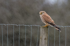 Rain Bird (ossie.g) Tags: kestrel falcon rain bird post fence wet downpour soak shower