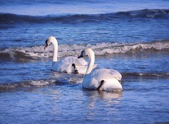 Into the Sea of blue (pianocats16) Tags: swans white swan baltic sea blue