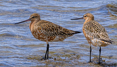south from siberia - bar-tailed godwits (breeding colours) #2 (Fat Burns ☮) Tags: bartailedgodwit limosalapponica bird australianbird fauna australianfauna bribieisland nikond500 nikon200500mmf56eedvr nature outdoors wynnumnorthforeshore wynnumnorth queensland australia wildlife australianmigrantbird shorebird