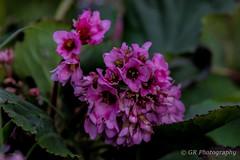 Pink flowers (G.R Photography) Tags: pink flower nature norfolk norwich naturephotography uknature uk ukphotography unitedkingdom green grphotography
