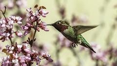Anna's Hummingbirdin the redbuds (Bob Gunderson) Tags: annashummingbird birds california calypteanna contracostacounty contralomaregionalpark eastbay hummingbirds northerncalifornia cercis redbuds