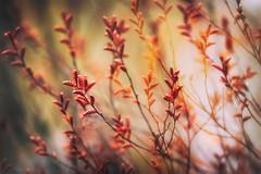 Chaos (Ans van de Sluis) Tags: 2019 ansvandesluis blossom bokehlicious botanic botanical bud colours flora floral flower macro march nature red