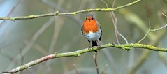 Robin J78A0151 (M0JRA) Tags: birds humber ponds lakes people trees fields walks farms traylers robins