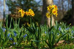Frühlings Blumen (KaAuenwasser) Tags: narzissen osterglocken blumen blüten gelb blau pflanzen natur garten schlossgarten park anlage wiese beet frühling