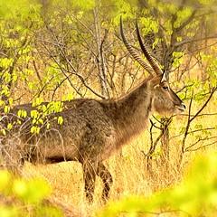 Waterbuck (cb|dg photo) Tags: wildlifephotography sundowner safari travel mammal wildlife animal male antelope horns africa namibia ongavalodge ongava waterbuck