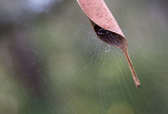 Well ventilated home (OzzRod) Tags: pentax k1 smcpentaxdfa50mmf28macro spider web leafcurling beecroftpeninsula jervisbay nsw