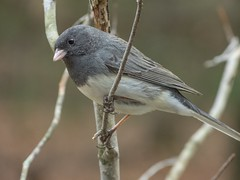 Dark-eyed Junco male_11Mar2019 (Bob Vuxinic) Tags: bird darkeyedjunco juncohyemalis slatecolored male treebranch cumberlandplateau crossvilletennessee 11mar2019
