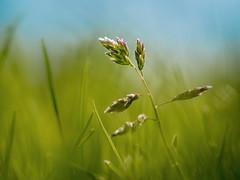 Grass (holgerreinert) Tags: 2019 april gx80 mzuiko60mm natur nature wohnanlage