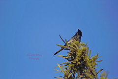 Phainopepla 2 (ahmed_eldaly) Tags: sandiego california usa nature birds birding wildlife photography egyptianphotographer