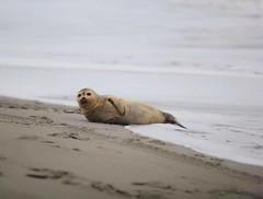 Seal in South Carolina (globetraveler2) Tags: seal seals ocean beach sand southcarolina winter south beaches