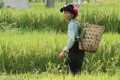 Thai Woman In A Rice Field (Nick Mayo/RemoteAsiaPhoto) Tags: laichau paddy vietnam backstrapbasket dai nammavalley