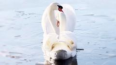 Schwäne / swans (Chridage) Tags: swans schwan schwäne wasser water ice eis