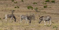 DSC08898 (Paddy-NX) Tags: 2019 20190109 addoelephantnationalpark africa sony sonya77ii sonyalpha sonyalphaa77ii sonysal70300g southafrica wildlife zebra