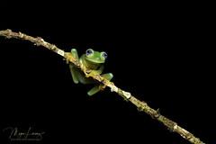 Ghost (Megan Lorenz) Tags: ghostglassfrog glassfrog frog amphibian macro rainforest nature wildlife wild wildanimals travel costarica mlorenz meganlorenz