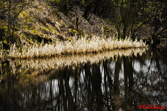 Reed Bed (red.richard) Tags: reeds canal forthclyde reflection water flora nikon d800 scotland