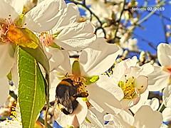 Almendro con abeja en Algete 20190212 (ferlomu) Tags: abeja almendro arbol ferlomu flor flower