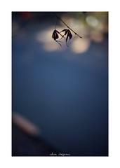 2019/1/14 - 4/9 photo by shin ikegami. - SONY ILCE‑7M2 / Voigtlander NOKTON CLASSIC 40mm f1.4 SC VM (shin ikegami) Tags: 紅葉 マクロ macro 井の頭公園 吉祥寺 winter 冬 asia sony ilce7m2 sonyilce7m2 s7ii 40mm voigtlander nokton nokton40mmf14sc tokyo photo photographer 単焦点 iso800 ndfilter light shadow 自然 nature 玉ボケ bokeh depthoffield naturephotography art photography japan earth
