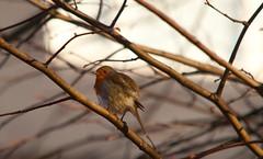 Winter's Nature (london) (Adam Swaine) Tags: rspb robin robinredbreast wildlife britishbirds englishbirds gardenbirds naturelovers nature london southeast birds england english britain british uk beautiful